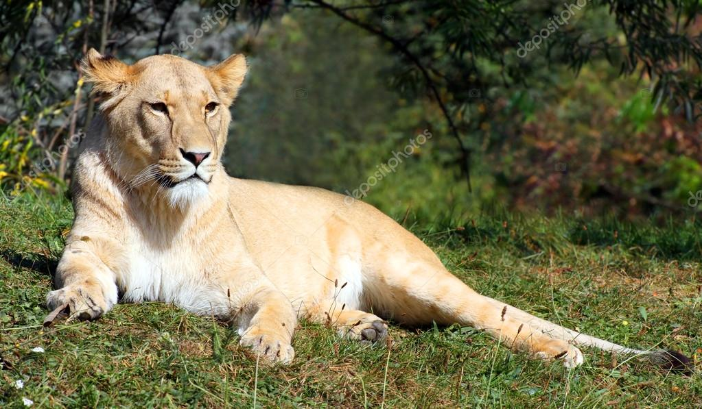 Big female lion (Panthera leo) lying in the grass.