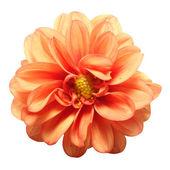 begónia virág