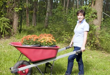 Middle age senior woman gardening wheel barrow chrysanthemums