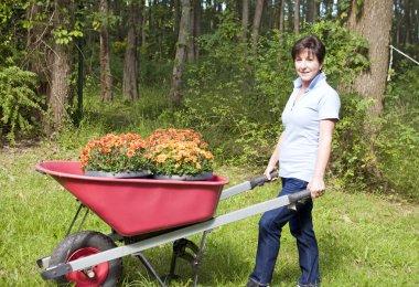 middle age senior woman gardening wheel barrow chrysanthemums
