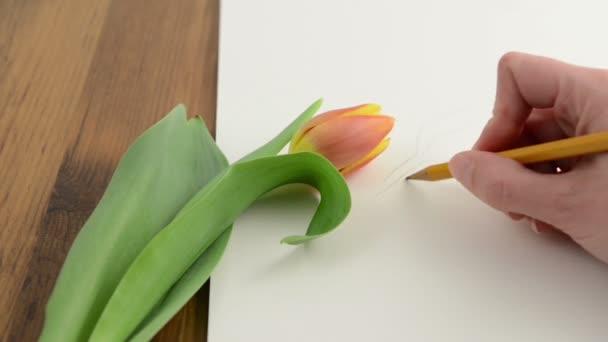 vázlat, ceruza, akvarell papír orange tulip virág
