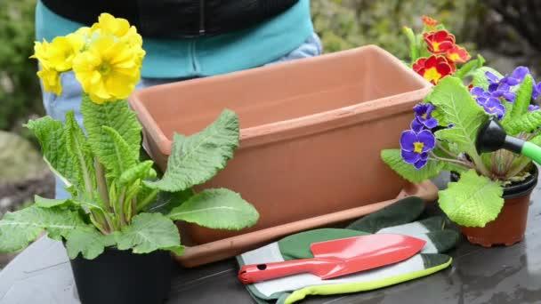 zalévání půdy v květináč petrklíčů rostlin