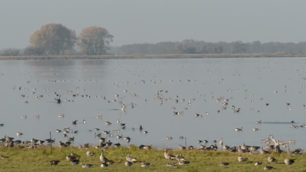 Wild geese resting on the lake at Havelland (Germany)
