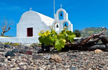 Grape field at Santorini of the Cyclades islands in Greece.