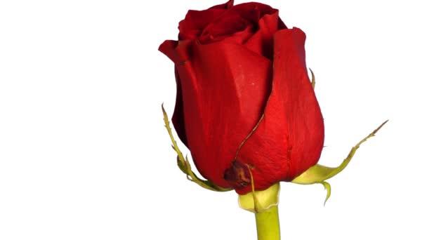 Eine Rose, die über 5 Tage gefilmt wurde