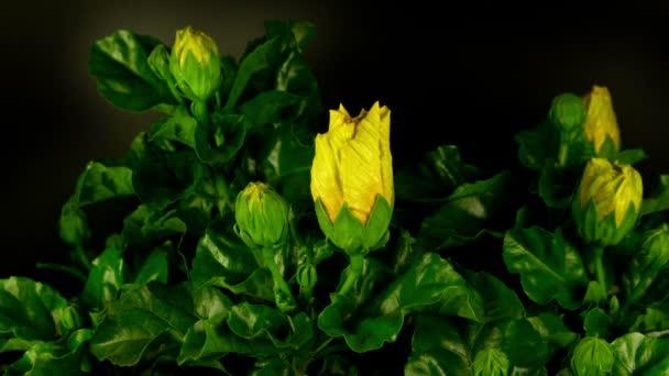 Egy sárga Hibiszkusz virág filmre egyre több mint 3 nap
