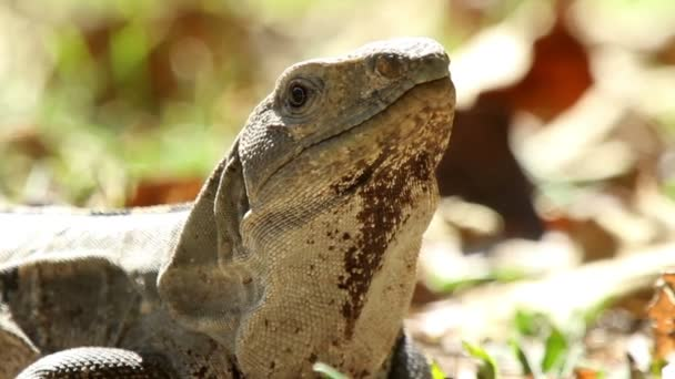 záběr iguana v Mexiku