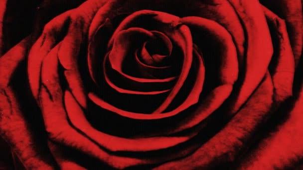 A rózsa egyre több mint 6 nap