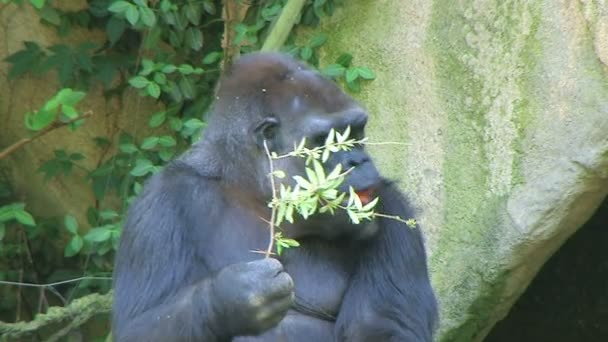 Gorilla Protects Food