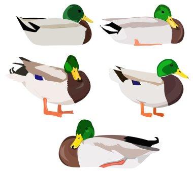 Set of wild ducks