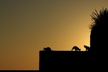 Cats silhouette in sunrise