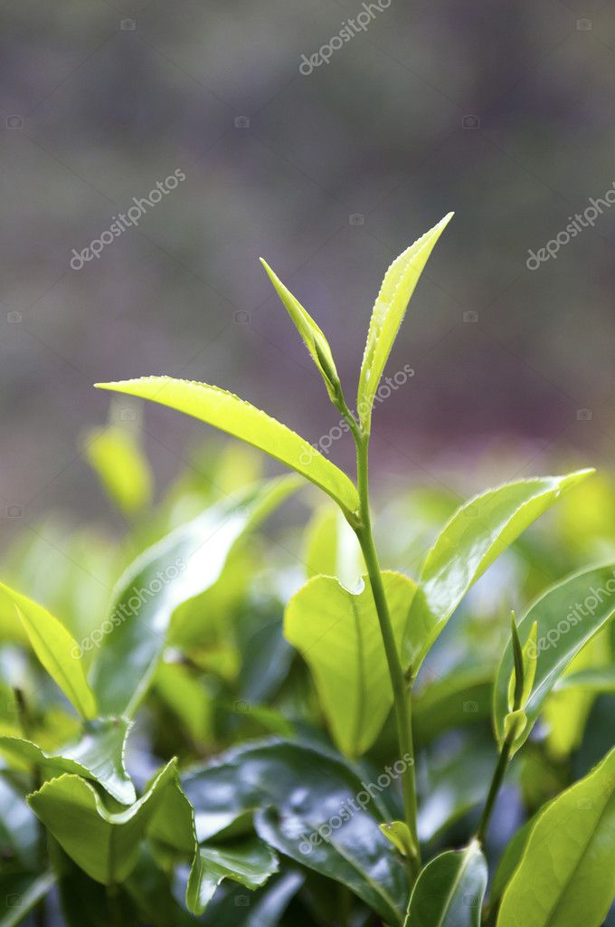 Tea Tree Field