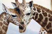 Photo Giraffes