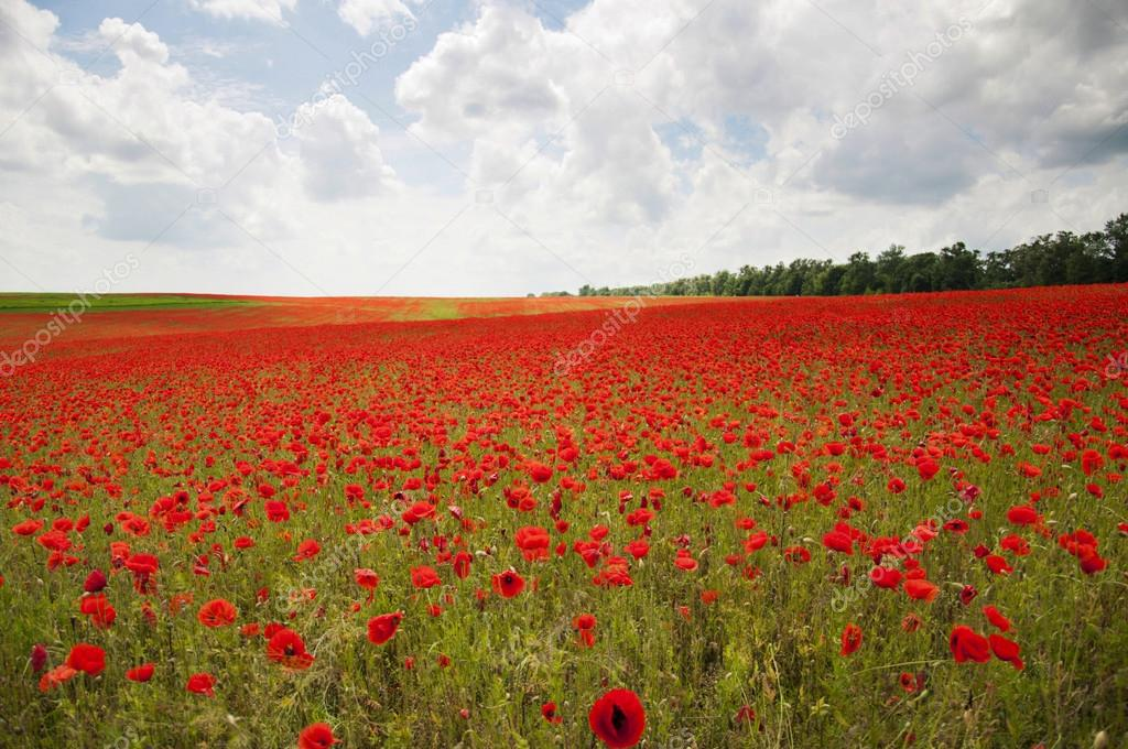 Poppies on a field