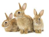 Fotografia tre conigli marroni