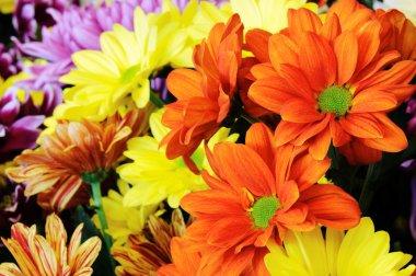 Multicolor gerber flowers