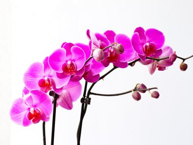 Orchid flowers, isolated on white background.