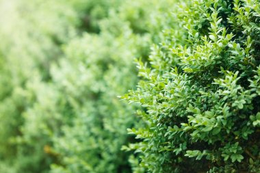 a well landscaped  hedge of bushes  boxwood