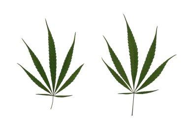 Marijuana Leaves Isolated on White