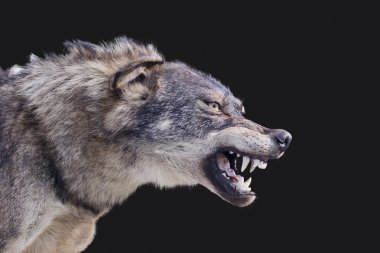 Wolf stuffed