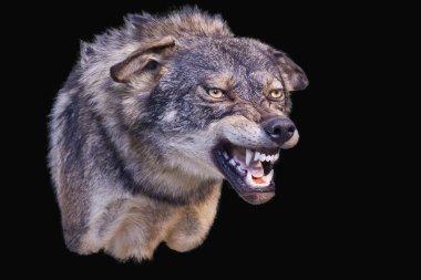 Wolf agressive