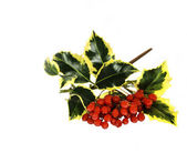 Ivy and red winter berries