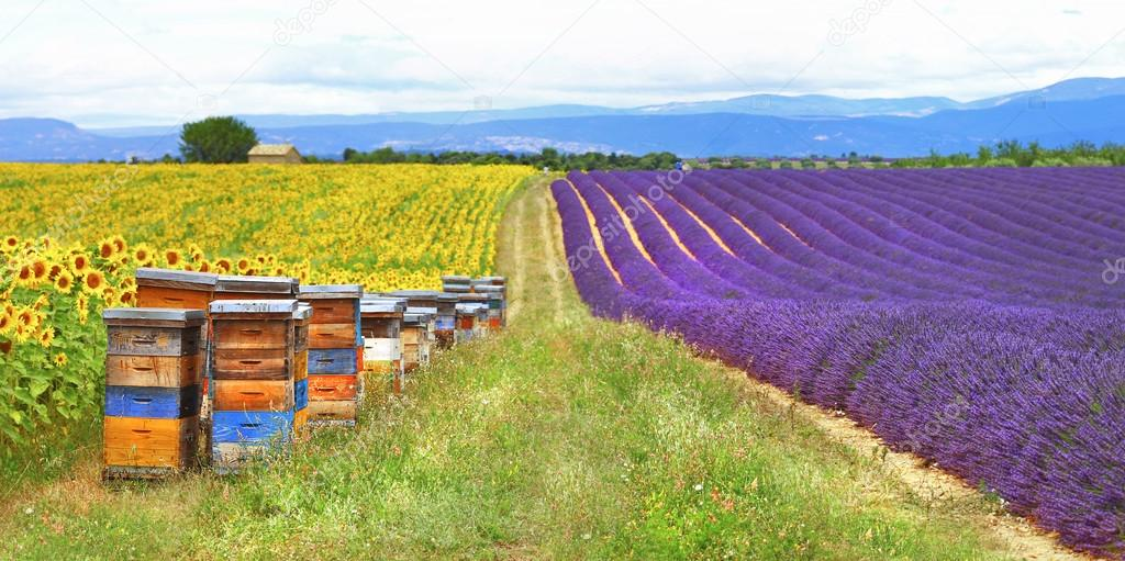 Provence, France - feelds of lavader and sunflowers with beehive