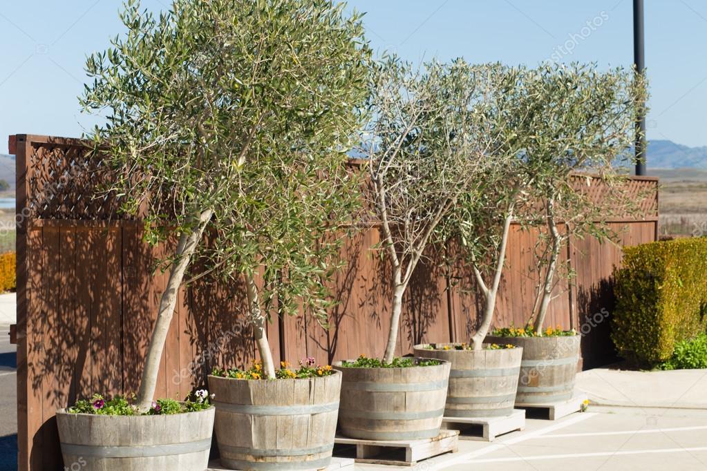 olive trees in pots stock photo mmudud 44109159. Black Bedroom Furniture Sets. Home Design Ideas