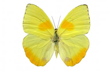 Butterfly in yellow tones