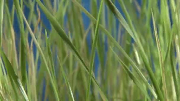 Green grass, blue back