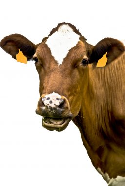 Cow portrait on isolated white background