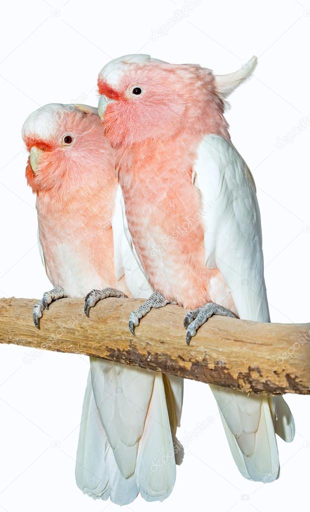 Two major mitchell cockatoos