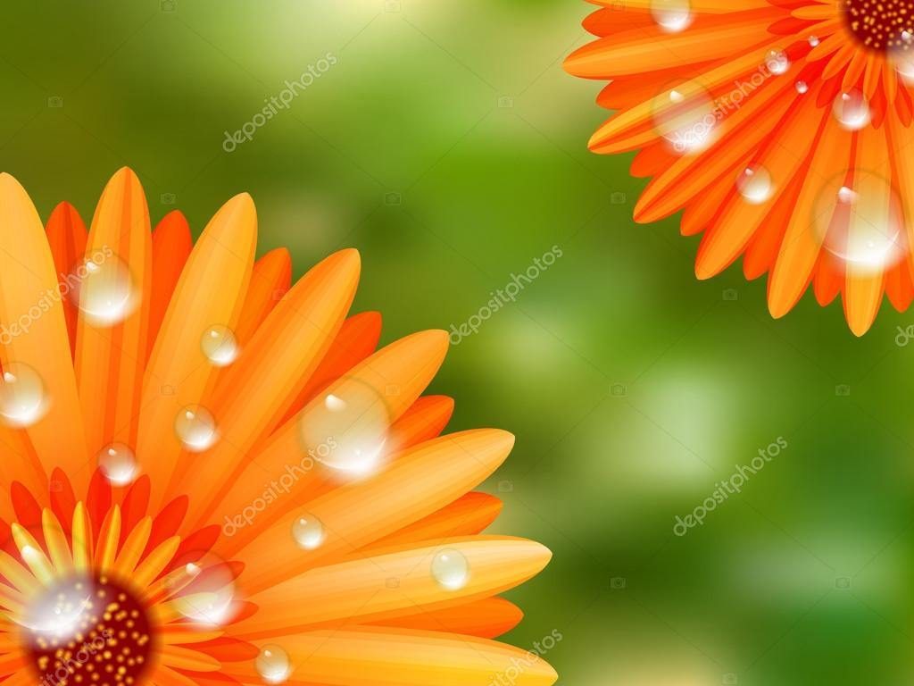 Gerber petals with water drops. plus EPS10