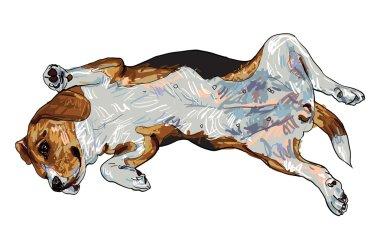 Funny pose of beagle
