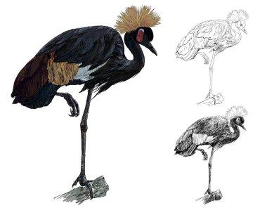 African Crowned Crane bird