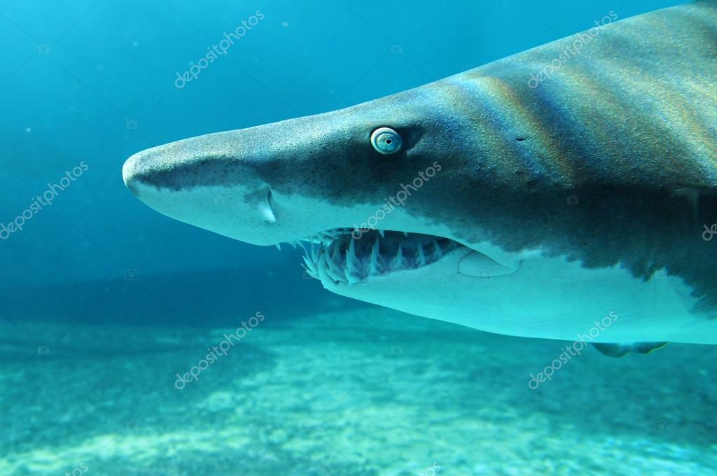 Sand shark in close up view stock photo ginosphotos1 14183638 sand shark in close up view stock photo publicscrutiny Image collections