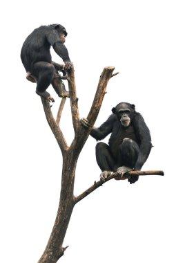 Chimpanzees on a Bare Tree