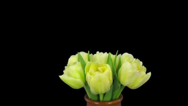 Time-lapse of opening yellow tulip bouquet 12a1