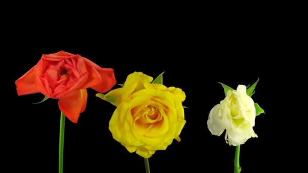 Time-lapse dying three colorful roses ALPHA matte 1