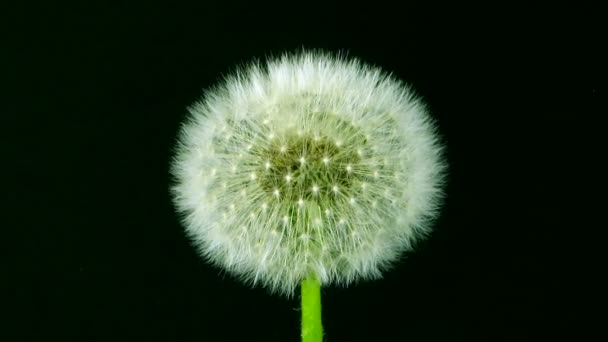 Time-lapse of growing Dandelion seeds