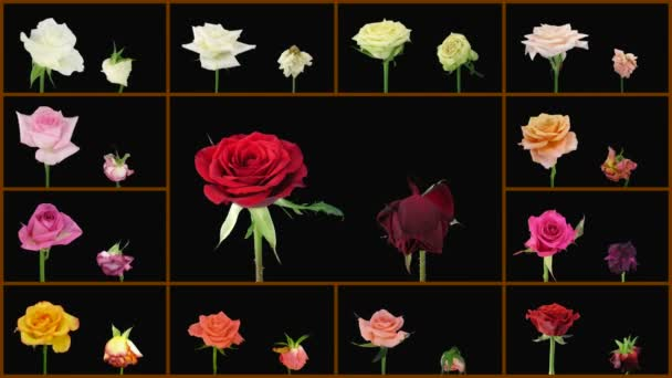 Montage opening and dying colorful roses wall 1a alpha matte