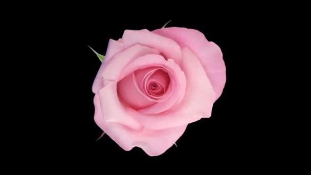 Doba od otevření barevných růží s alfa matnou 8a