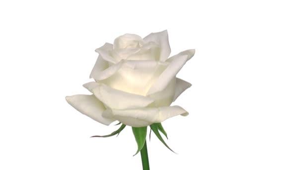 rotierende Akito -Rose isoliert in weißer Endlosschleife 1