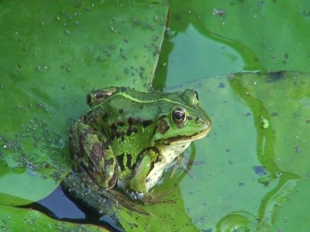 Frosch im Teich 22