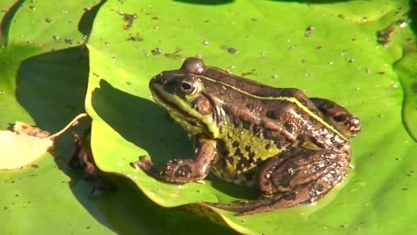 Frosch im Teich 12