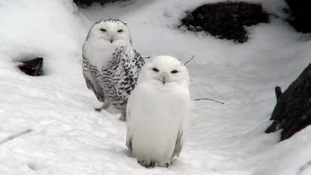 Two snowy owls (Bubo scandiacus) at winter