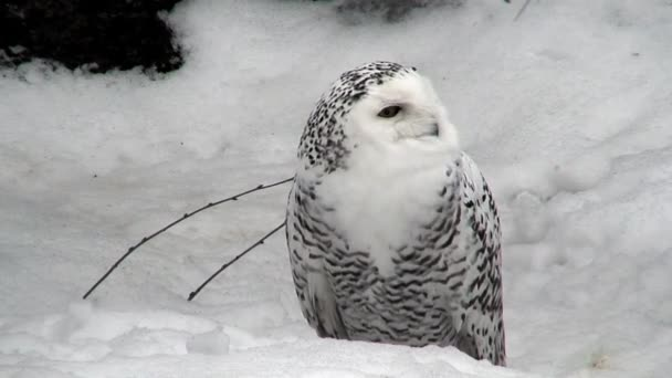 Female snowy owl two (Bubo scandiacus) at winter