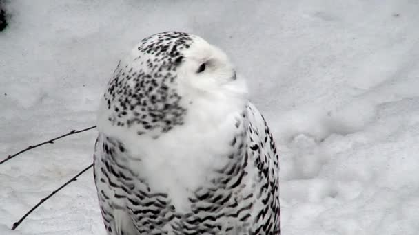 Female snowy owl three (Bubo scandiacus) at winter