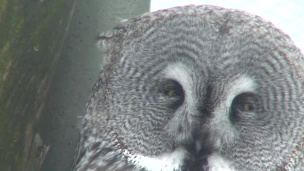 Great gray owl (Strix nebulosa) three
