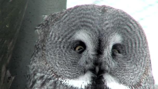 Great gray owl (Strix nebulosa) four